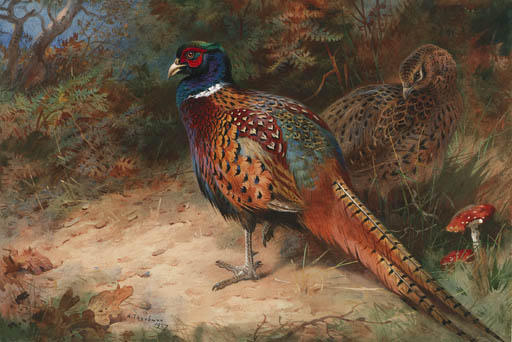 Un gallo y gallina faisán, acuarela de Archibald Thorburn (1860-1935, United Kingdom)