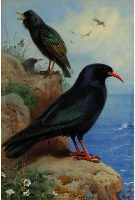 Una Roca Y Starling Un Chough Común, de Acuarela de Archibald Thorburn (1860-1935, United Kingdom)