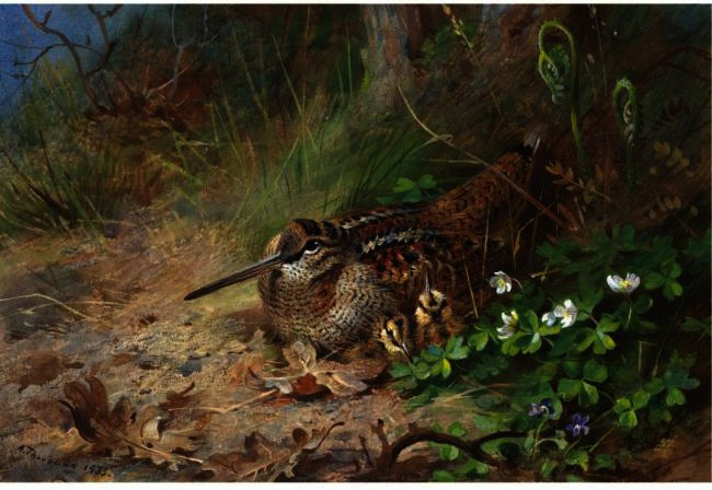 a `woodcock` y su jóven, acuarela de Archibald Thorburn (1860-1935, United Kingdom)
