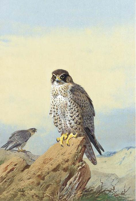 Gyr Falcon 1, acuarela de Archibald Thorburn (1860-1935, United Kingdom)