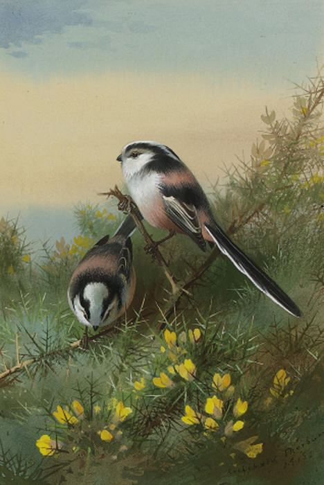 Cola larga Tits On Gorse, acuarela de Archibald Thorburn (1860-1935, United Kingdom)