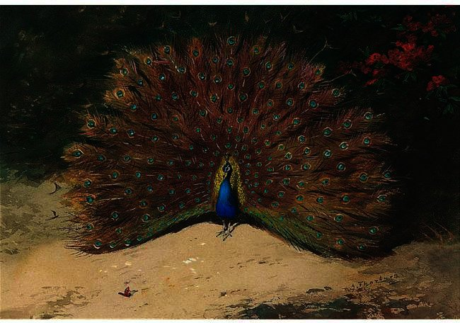 pavo real y mariposa, acuarela de Archibald Thorburn (1860-1935, United Kingdom)