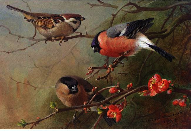 Ree Sparrow Y Bullfinches, acuarela de Archibald Thorburn (1860-1935, United Kingdom)