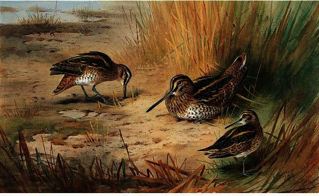 Snipe 1, acuarela de Archibald Thorburn (1860-1935, United Kingdom)