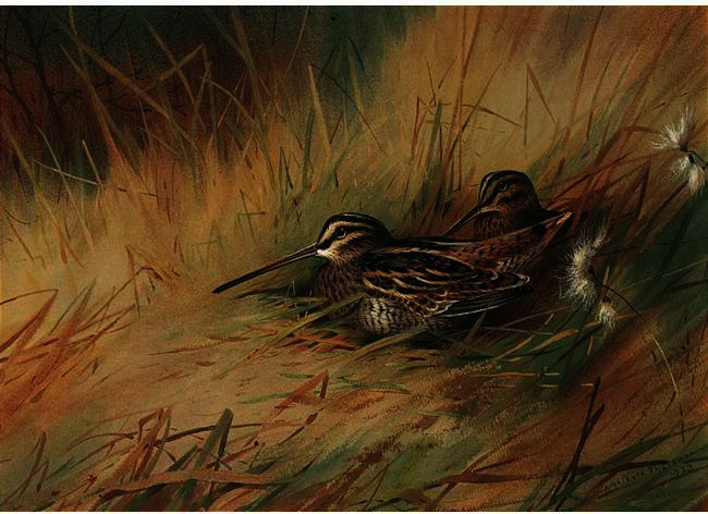 Snipe 2, acuarela de Archibald Thorburn (1860-1935, United Kingdom)