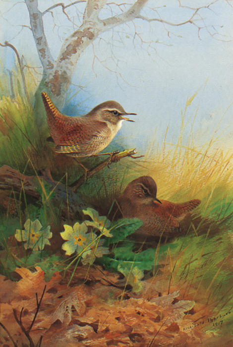 Dos Wrens Amongst Primaveras, acuarela de Archibald Thorburn (1860-1935, United Kingdom)