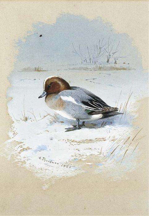 Wigeon, acuarela de Archibald Thorburn (1860-1935, United Kingdom)