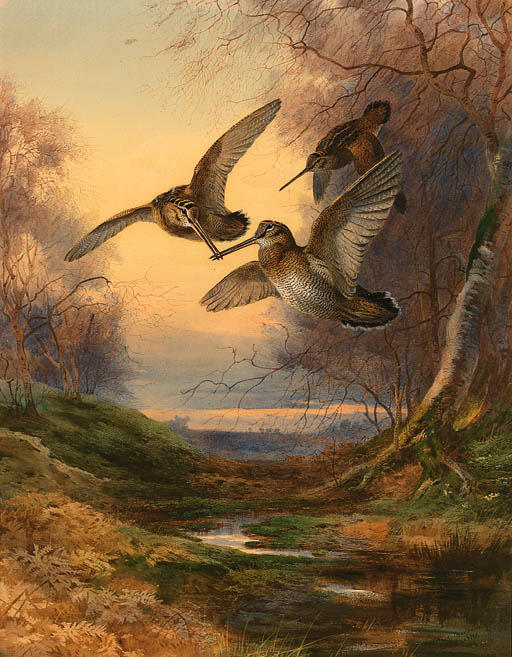Sunset Woodcock Roding A, de Acuarela de Archibald Thorburn (1860-1935, United Kingdom)