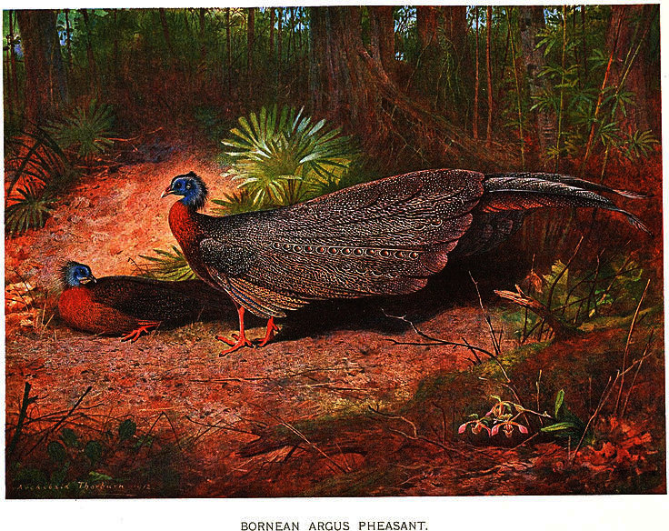 Argusianus argus grayi de Archibald Thorburn (1860-1935, United Kingdom)