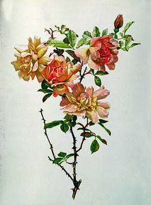 Alfred Parsons - Rosa chinensis